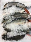 在冰的鱼 免版税图库摄影