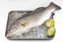 在冰的鲈鱼。 库存图片