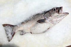 在冰的鲈鱼 免版税图库摄影