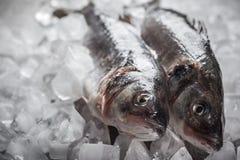 在冰的鲈鱼 免版税库存图片