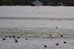 在冰的鸟 免版税库存图片