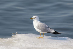 在冰的鸥 免版税图库摄影