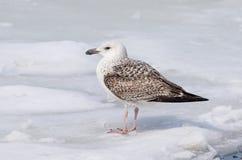 在冰的鸥 免版税库存照片