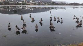 在冰的鸭子 库存照片