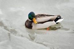 在冰的鸭子 图库摄影