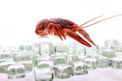 在冰的龙虾 图库摄影