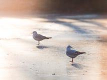 在冰的黑带头的鸥在日落 免版税库存图片
