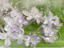 在冰的紫色丁香 免版税库存图片