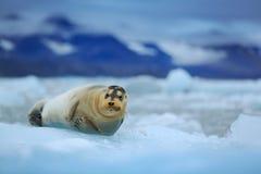 在冰的说谎的髯海豹在北极斯瓦尔巴特群岛 库存图片