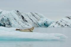 在冰的说谎的髯海豹在北极 库存照片