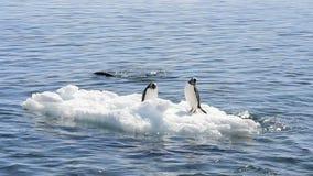 在冰的Chinstrap企鹅 股票视频