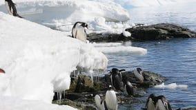 在冰的Gentoo企鹅 影视素材