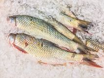 在冰的Jullien ` s金黄价格鲤鱼鱼 免版税库存图片