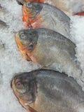 在冰的Pacu鱼在超级市场 免版税库存图片