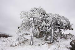在冰盖的杉木 库存图片