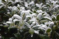 在冰盖的植物 免版税库存照片