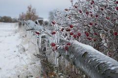 在冰盖的石南木植物 库存照片