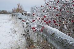 在冰盖的红色野玫瑰果灌木到处在开放风景 免版税库存照片