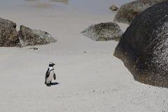 在冰砾海滩开普敦的孤独的非洲企鹅 免版税图库摄影