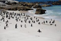 在冰砾海滩开普敦的非洲企鹅 免版税库存照片