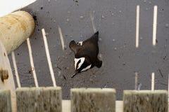 在冰砾海滩开普敦的非洲企鹅 库存照片