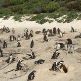在冰砾海滩的非洲企鹅在开普敦半岛,南非 免版税库存图片
