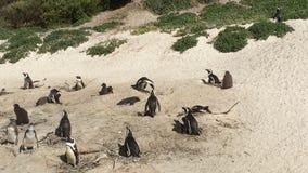 在冰砾海滩的非洲企鹅在开普敦半岛,南非 免版税图库摄影