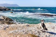 在冰砾海滩的非洲企鹅在开普敦 免版税图库摄影