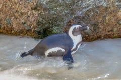 在冰砾海滩,南非的一只企鹅 免版税图库摄影