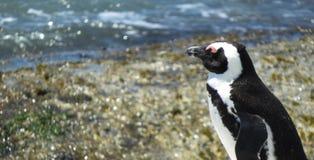 在冰砾海滩,西蒙斯镇的公驴企鹅 库存图片