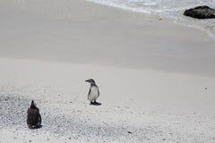 在冰砾海滩的两只非洲企鹅在南非 库存照片