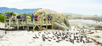 在冰砾海滩的非洲企鹅在南非 图库摄影