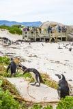 在冰砾海滩的非洲企鹅在南非 库存图片