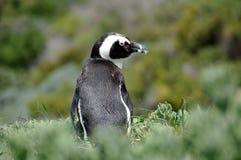 在冰砾海滩的非洲企鹅 库存照片