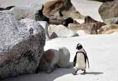 在冰砾海滩的非洲企鹅 免版税库存照片