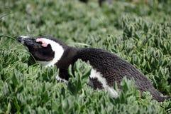 在冰砾海滩的非洲企鹅 免版税图库摄影