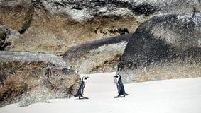 在冰砾海滩的非洲企鹅 图库摄影