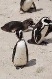 在冰砾海滩,南非的企鹅 库存照片