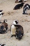 在冰砾海滩,南非的企鹅 图库摄影