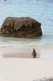 在冰砾海滩,南非的企鹅 免版税图库摄影