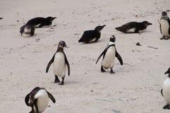 在冰砾海滩,南非的企鹅 库存图片
