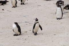 在冰砾海滩,南非的企鹅 免版税库存图片