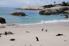 在冰砾海滩,开普敦的企鹅 免版税图库摄影