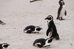 在冰砾海滩,开普敦的企鹅 免版税库存照片