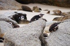 在冰砾海滩,开普敦的逗人喜爱的企鹅 免版税图库摄影