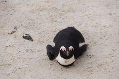 在冰砾海滩,开普敦的逗人喜爱的企鹅 免版税库存图片