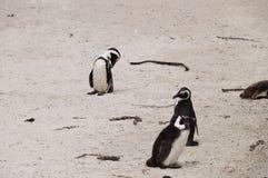 在冰砾海滩,开普敦的逗人喜爱的企鹅 库存照片