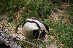 在冰砾海滩,开普敦的逗人喜爱的企鹅 免版税库存照片