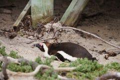 在冰砾海滩,开普敦的逗人喜爱的企鹅 图库摄影