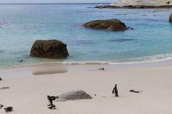在冰砾海滩,开普敦,南非的企鹅 免版税库存照片